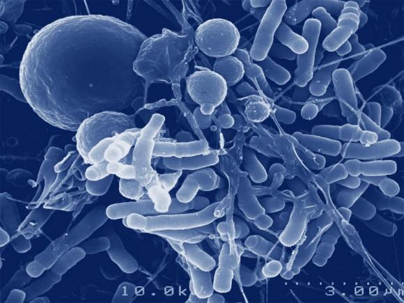 cacao- bifidobacterium